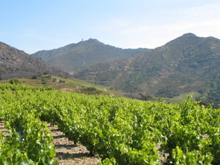 collioure_vineyards